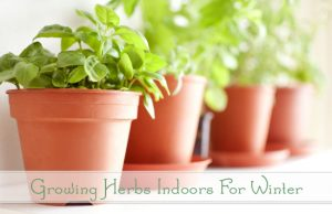 Growing Herbs in Pots Indoors for Winter