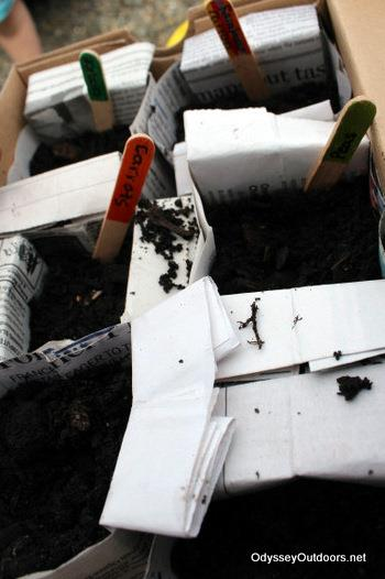 10 Steps to Planting Organic Veggies in Newspaper Pots