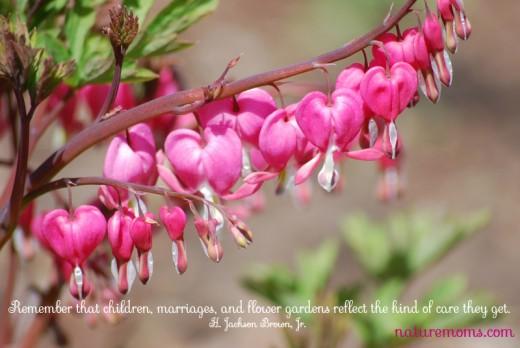 bleeding hearts spring flowers
