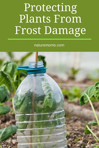 Protecting Plants From Frost Damage