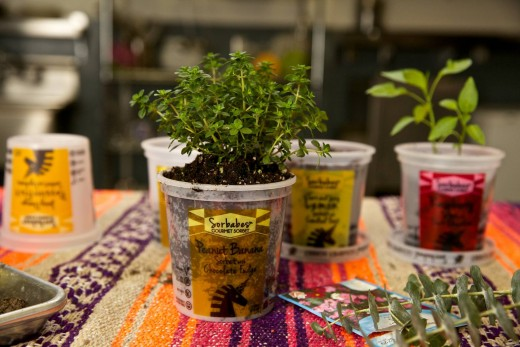 sorbabes planting