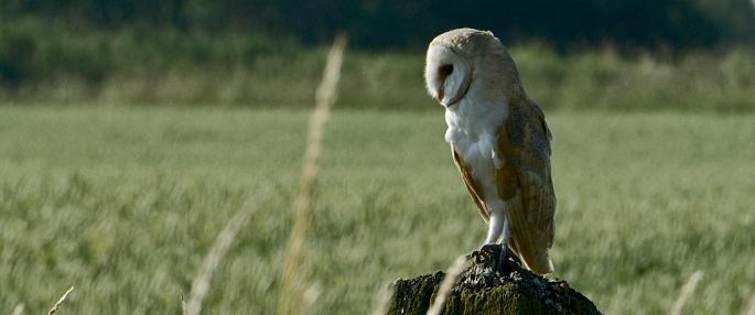 Barn Owl (Tyto alba). cpt. Les Binns