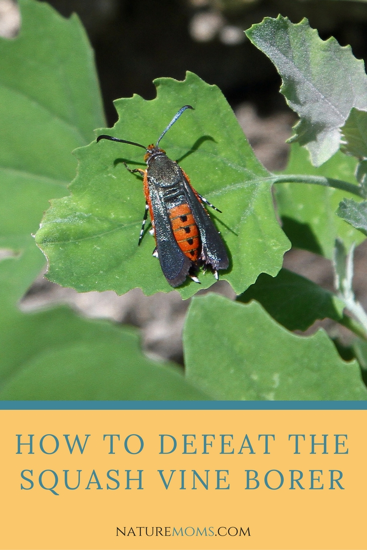 How to Get Rid of the Squash Vine Borer