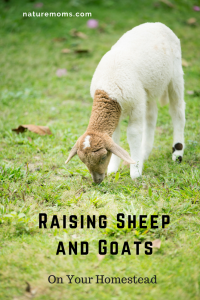 Raising Sheep and Goats Homestead