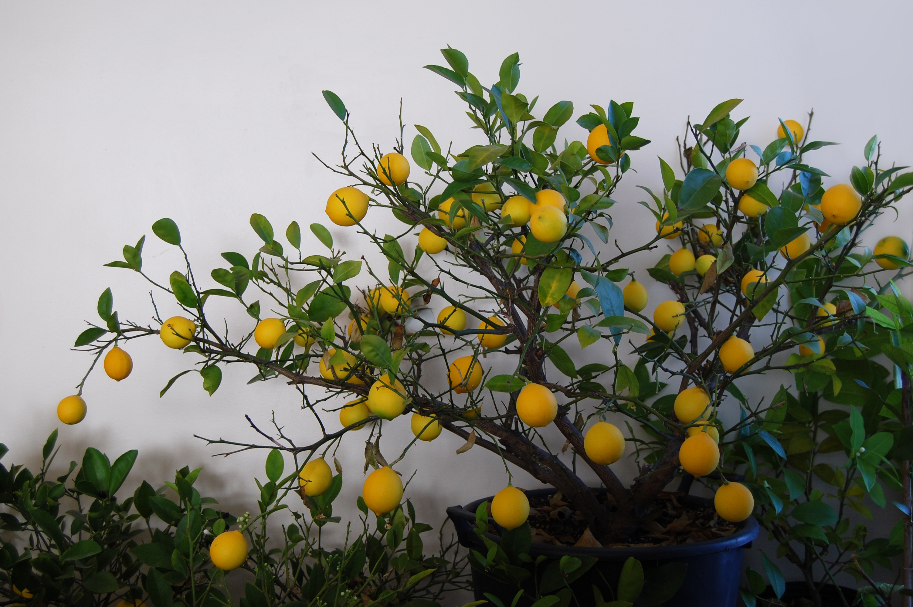 How To Grow Meyer Lemons Indoors Nature Moms