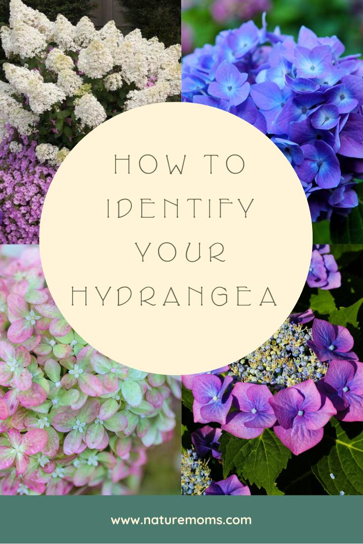 Identify Your Hydrangea Type