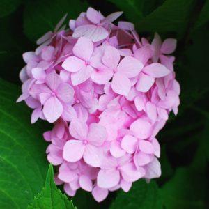 Bigleaf hydrangea, mophead, french