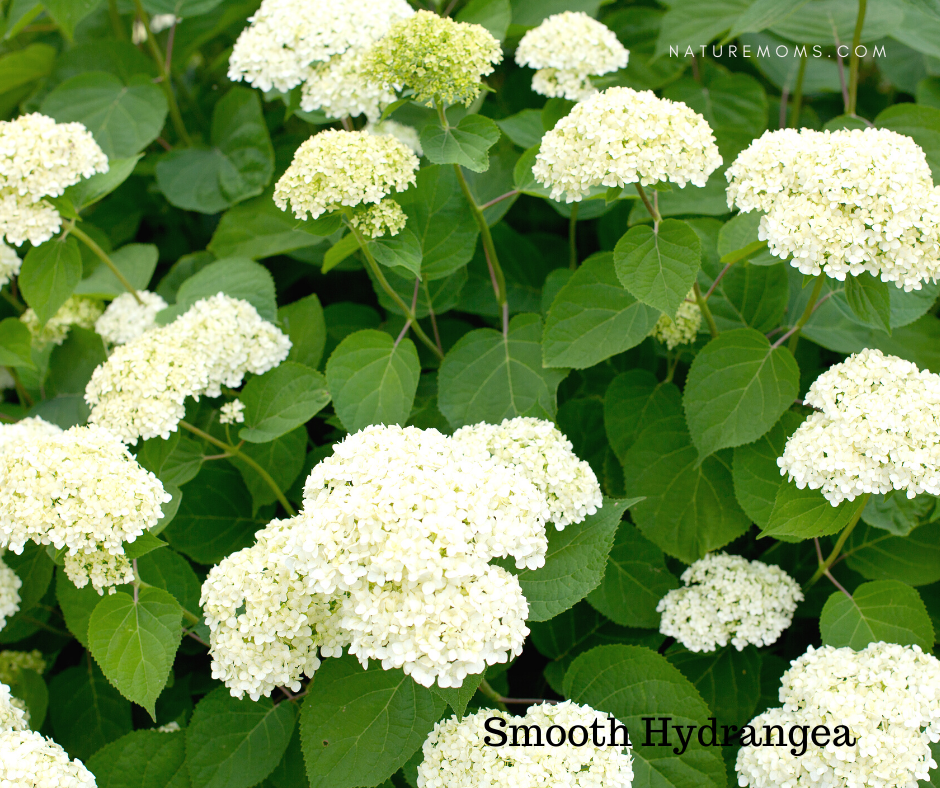 smooth anabelle hydrangea